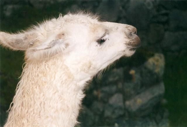Llamas_2