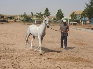 Akhal-Teke Horse 3