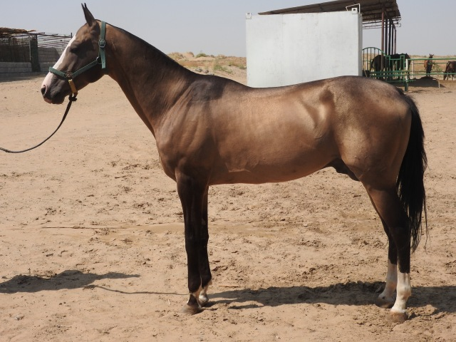 Akhal-Teke Horse 4
