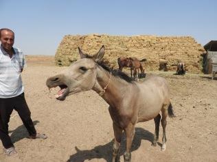 Akhal-Teke Horse1