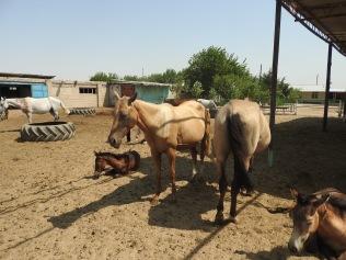 Akhal-Teke Horse2