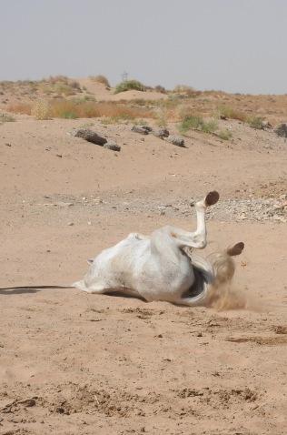 Akhal-Teke Horse5
